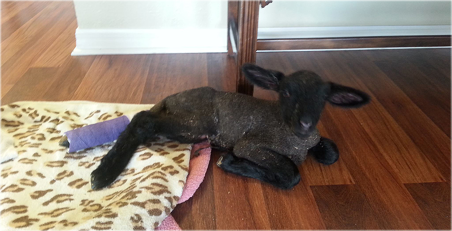 Lamb Treated by Volusia Vet